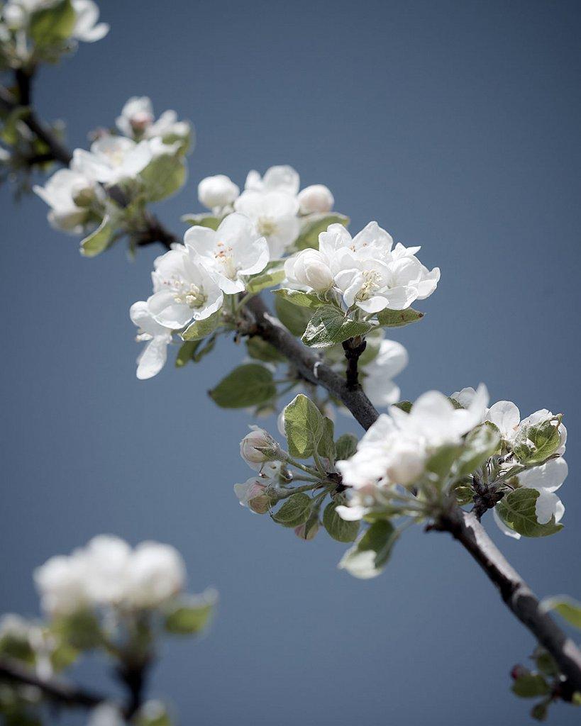 Blossom-1.jpg